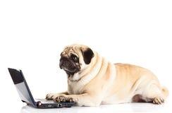 Hundpugdogdator som isoleras på vit bakgrund Royaltyfri Foto