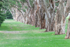 Hundraårsjubileet parkerar i Sydney, Australien Tjocka vintergröna teträd royaltyfria bilder
