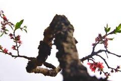 Hundra år gamla träd, ljus persikablomning på trädstammen royaltyfri fotografi