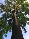 Hundra åriga Jelutong träd Arkivfoto