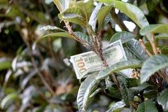 Hundra dollarräkning på träd Arkivbild
