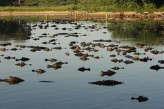 Hundratals caimans på Pantanal Fotografering för Bildbyråer
