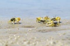 Hundratals små krabbor med några dagar av liv Royaltyfri Foto