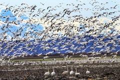 Hundratalssnögäss som tar av att flyga Washington royaltyfri foto