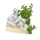 Hundred dollar bills and a branch of green bushes on a white bac. Kground Royalty Free Stock Photo