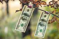 Hundred dollar bills weigh autumn clothespins Royalty Free Stock Photo