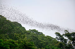 Hundred Million Bats flying nocturnal seeking for food in evenin. G at Wat Khao Chong Pran in Ratchaburi, Thailand Stock Photos