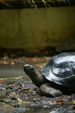 Hundred Year old Tortoise Stock Images