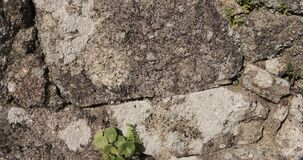 Hundreds of ants crawling along a rough old stone wall