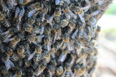 Beeswarm. Hundreds of bees in a beeswarm on a tree Royalty Free Stock Photos
