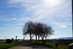 Hundreds of birds leaving a tree. And flying into the blue sky Stock Images