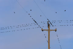 Hundreds of birds on many telephone wires. Birds perch on telephone wires and fly away Royalty Free Stock Photo