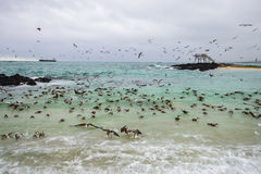 Hundreds of blue footed boobies flying and fishing, Isabela island, Ecuador Royalty Free Stock Image