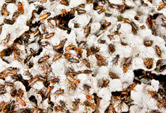 Hundreds of brown cockroaches in their habitat Royalty Free Stock Images