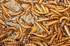 Hundreds of brown worms in their habitat. Stock Photo