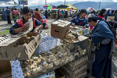 Hundreds of chicks for sale at the Otavalo animal market in Ecuador in South America. royalty free stock image