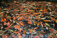 Hundreds of fancy carp koi fish in pool Royalty Free Stock Photo
