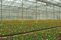 Hundreds of flowers growing in nursery. Many colorful primulas growing in an agricultural company Stock Image