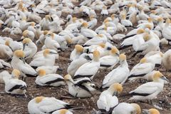 Hundreds of Gannet Pairs at Cape Kidnappers New Zealand royalty free stock image