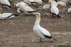 Gannet at Plateau in Napier, New Zealand. Hundreds of Gannets nesting in Napier, New Zealand stock images