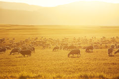 Hundreds of grazing sheep Stock Image