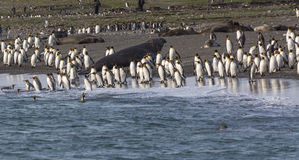 Hundreds of King penguins coming and going in the sea to fish Royalty Free Stock Image
