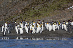 Hundreds of king penguins surrounded by elephant seals royalty free stock photo