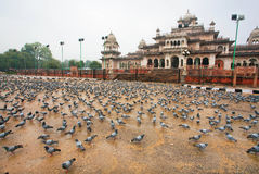 Hundreds of pigeons eating grain on the square Royalty Free Stock Photography