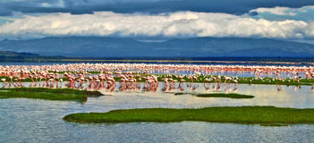 Hundreds of pink flamingos standing in a lake in Kenya Stock Image