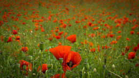 Hundreds of poppies Royalty Free Stock Image