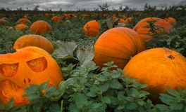 Field full of pumpkins - pick your own for halloween royalty free stock photos