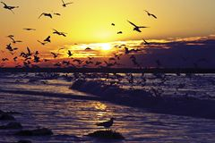 Hundreds of seagulls in the Netherlands Stock Image