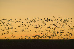 Hundreds of snow geese fly over the Bosque del Apache National Wildlife Refuge at sunrise, near San Antonio and Socorro, New Mexic Royalty Free Stock Photography