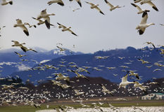 Hundreds of Snow Geese Flying Against Mountain Royalty Free Stock Photos