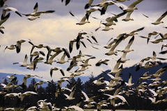 Hundreds of Snow Geese Flying Off Stock Photos