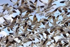 Hundreds Snow Geese Taking Off Flying Washington Royalty Free Stock Photo