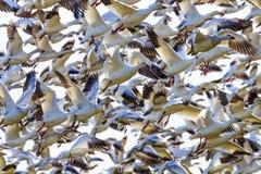 Hundreds Snow Geese Taking Off Flying Washington Stock Images