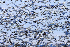 Hundreds Snow Geese Taking Off Flying Washington. Hundreds of Snow Geese Taking Off Flying In Response to Threat Washington Royalty Free Stock Image