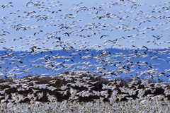 Hundreds Snow Geese Taking Off Flying Washington Royalty Free Stock Photos