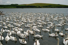 Hundreds of swans Royalty Free Stock Images