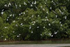 Hundreds of terns flying Royalty Free Stock Images