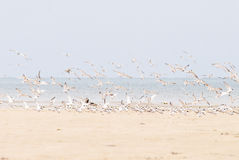 Hundreds of terns flying Stock Image