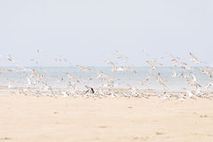 Hundreds of terns flying Stock Photo