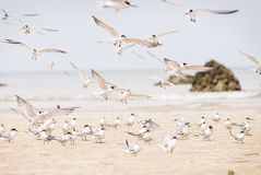 Hundreds of terns flying Royalty Free Stock Photos