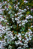 Hundreds Thousands White Black Small Bloom Flowers Together Bush Royalty Free Stock Photography