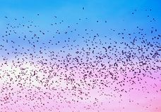 Birds swarming in pink and blue sky Royalty Free Stock Image
