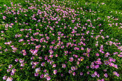 Hundreds of Very Pink Primrose Wildflowers in Texas. Royalty Free Stock Photos