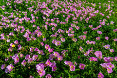 Hundreds of Very Pink Primrose Wildflowers in Texas Royalty Free Stock Image