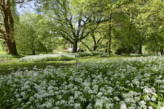 Hundreds of white allium flowers, Blarney Castle and Grounds Royalty Free Stock Photography