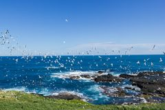 hundrets of gulls are flying at the noobies in Philip Island, Victoria stock photo